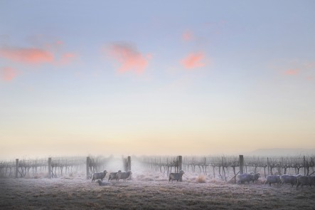 A photo of morning frost in the grape vines in Mudgee