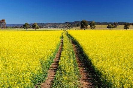 19_Canola_fields