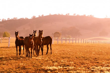A photo of Gooree Park Stud horses, Mudgee. Photo by Amber Hooper.