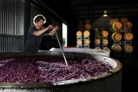 Vintage time at Lowe Wines. Winemaker Liam Heslop plunges the grapes. Photo by Amber Hooper.