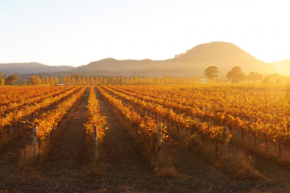 A photo of Autumn vines at Clearview Estate, Mudgee. Photo by Amber Hooper.